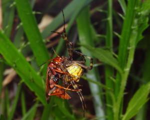 Wasp eating Spider. Photo by Gustavo Mazzarollo
